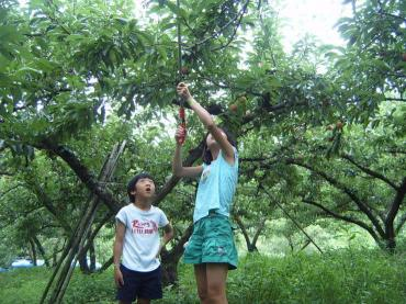 자두수확 체험